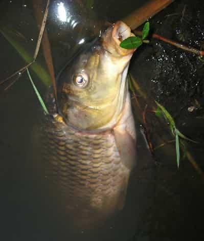 Noite carpa pesca
