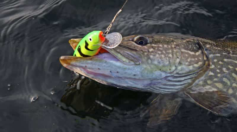 Fishing for predatory fish on surface baits