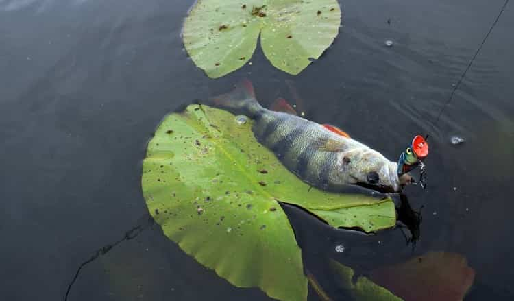 pescano il perch