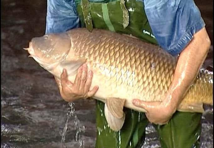 carp at 16 kilograms