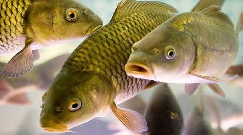 What is fish pheromones